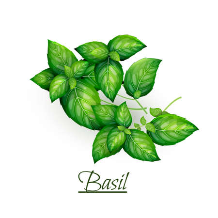 Sprigs of fresh delicious basil in realistic style, isolated on white background