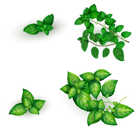 Set of basil and mint in realistic style, isolated on white background