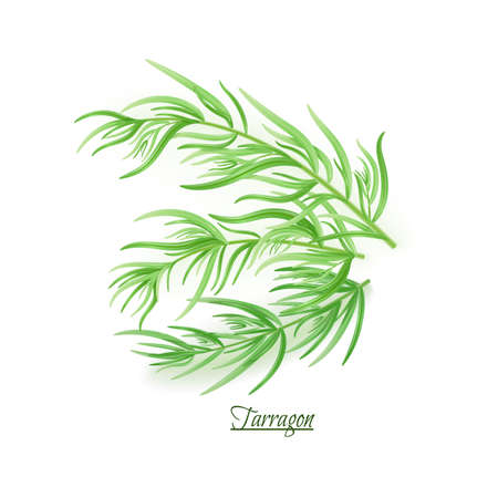 Sprigs of fresh delicious tarragon in realistic style, isolated on white background Illustration