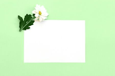 White chrysanthemum with a copy space on a green background. Flat lay, top view, copy space