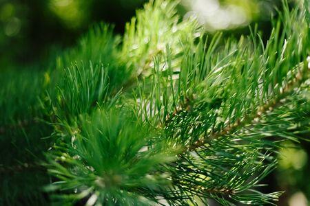 Closeup photo of green needle pine tree. Blurred pine needles in background. Daylight.