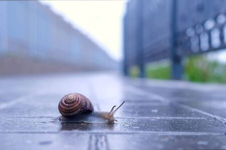 Snail sliding foot on asphalt in city park during rain. Animals in wild life. Brown snail crawling on paving. Snail moving tentacle with eyes. Creatures in city. 스톡 콘텐츠