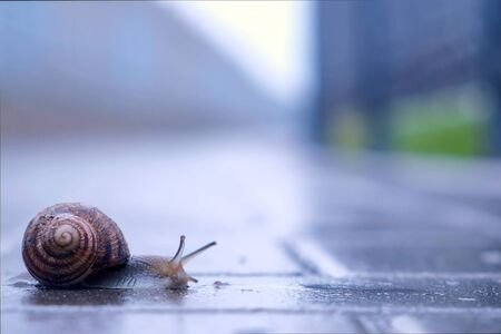 Snail sliding foot on asphalt in city park during rain. Animals in wild life. Brown snail crawling on paving. Snail moving tentacle with eyes. 스톡 콘텐츠