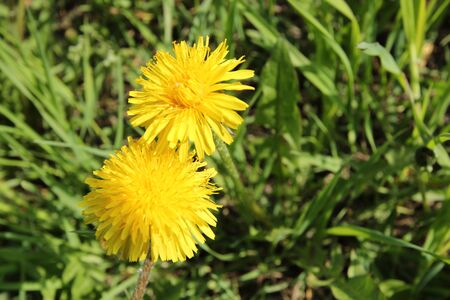 Two yellow dandelions on the background with green leaves