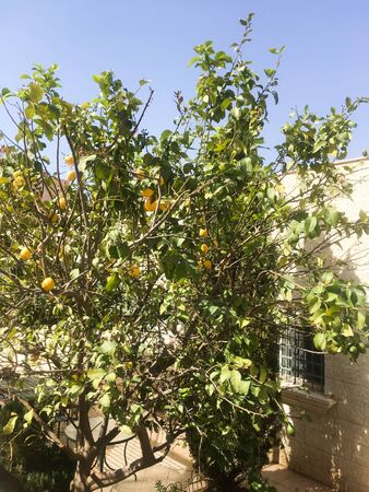 Lemon tree is grown against the background of the building. Jordanian city. Arab country. Aqaba.
