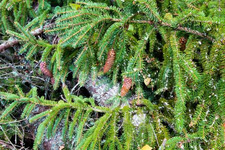 Branches ate with cones. Close-up. Texture of spruce. Forest natural background.