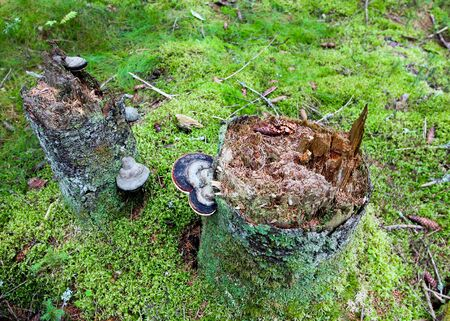 Moss on a tree stump with a mushroom. Forest background.