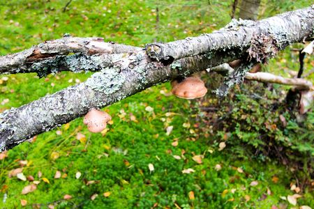 Mushrooms grow on the trunk of a broken tree. Autumn forest background. 写真素材