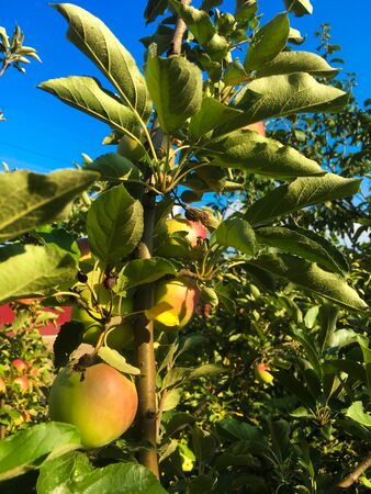 Apples hang on a tree branch against the blue sky. Bright sunny summer weather.