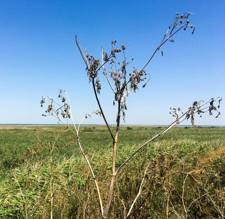 View of the field. Close up dry plant. Summer landscape. Russia.