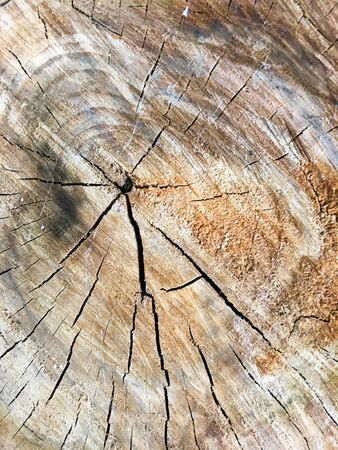 Stump. Cross section of the tree. View from above. Wood background.