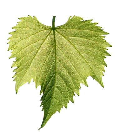 leaf grape: Hoja de uva peque�a aislado sobre fondo blanco  Foto de archivo