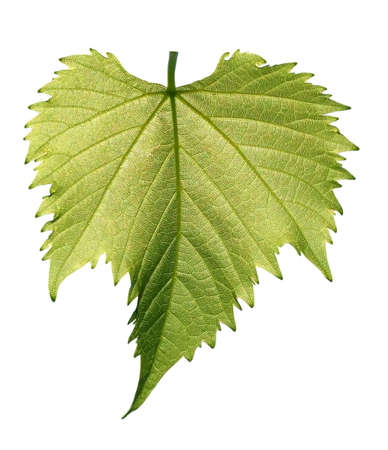 vine leaves: Small grape leaf  isolated on white background