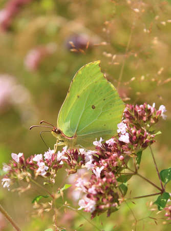 Gonepteryx rhamni sits on pink flower and drinks nectar. Weather is solar. photo