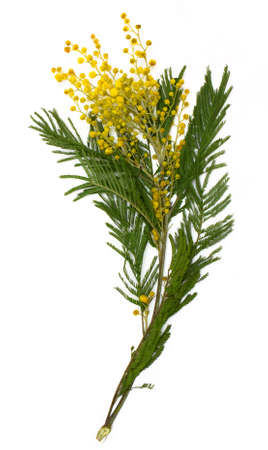wattle: Mimosa  silver wattle  branch isolated on white background