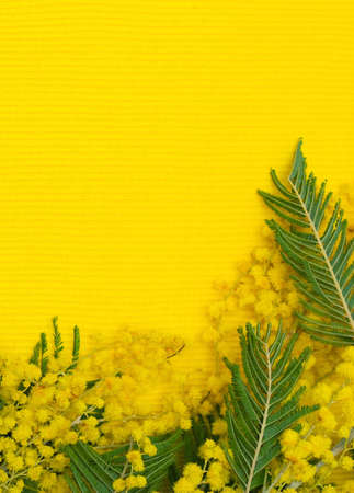 wattle: Flower pattern  mimosa  silver wattle  branch on yellow textile background