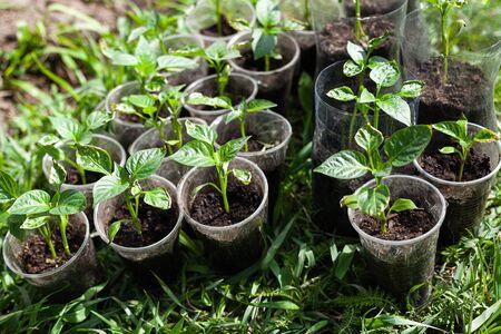 sweet pepper seedlings on the grass
