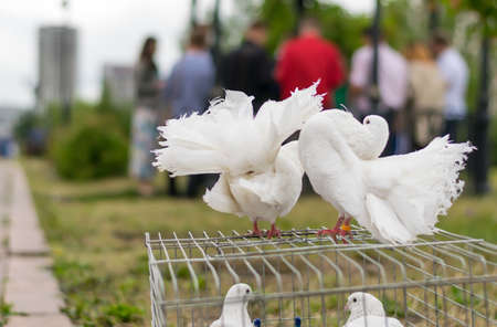 Wedding white pigeons posing in the Park on the background of people at the celebration