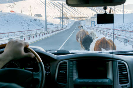 cows blocked the road