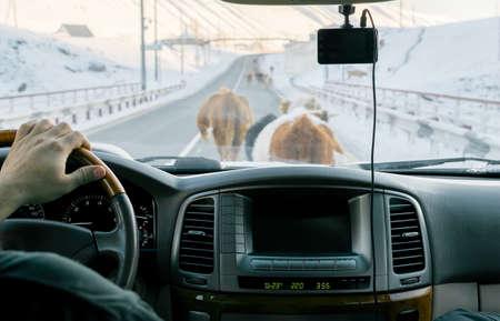 cows on the road Reklamní fotografie