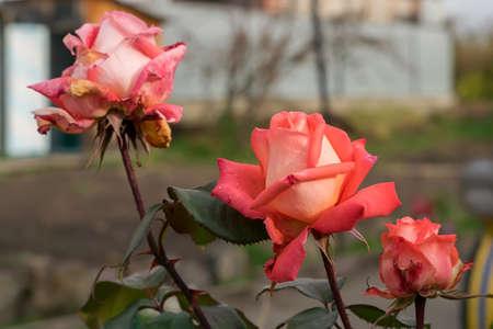 sécher des roses dans les parterres de fleurs Banque d'images