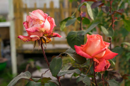 drying roses in the flower beds Imagens