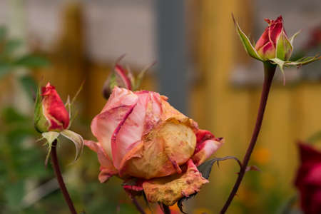 sécher des roses dans les parterres de fleurs