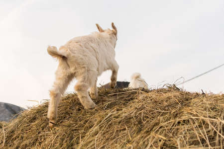 A pretty little white goat standing on a haystack Фото со стока