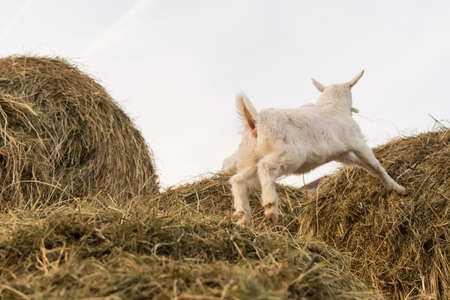A little white goat jumping on a haystack