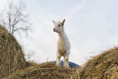 A little white goat standing on a haystack Фото со стока