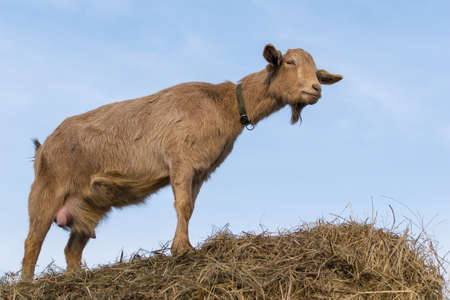 Brown milking goat stands on a haystack Фото со стока