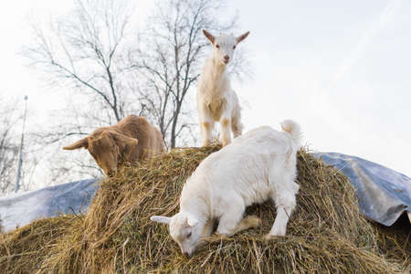 goat with small goats