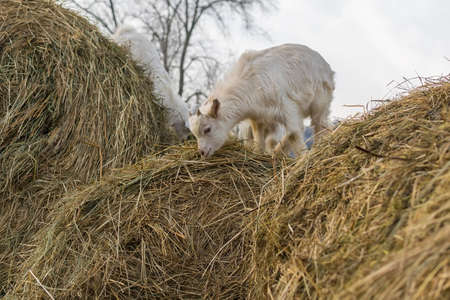 little goats stand on a haystack Фото со стока