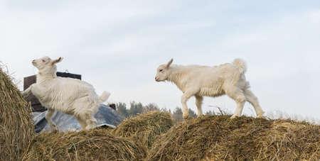 little goats stand on a haystack Foto de archivo