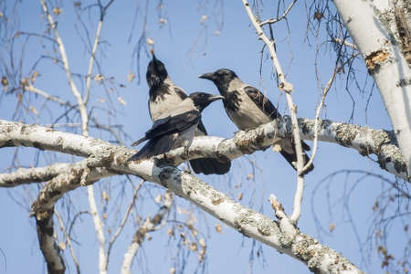 magpies sitting on birch branches, close up Standard-Bild