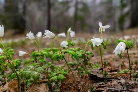 fiori nel bosco, bucaneve