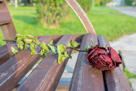 abandoned, old, withered, dry red rose lies on a wooden bench in a city park