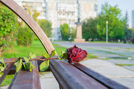 an abandoned, old, withered, dry red rose lies on a wooden bench in a city park Stock Photo