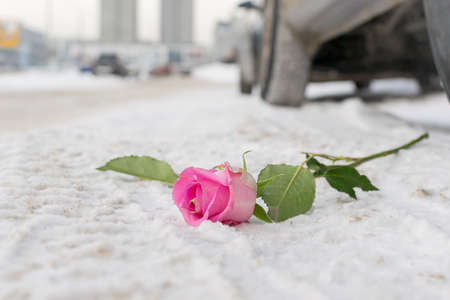 a discarded scarlet rose lies in winter on the white snow on a city street on the road near the wheels of a car Reklamní fotografie
