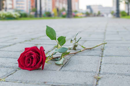a rejected and discarded red rose flower lies on the stone pavement of a footpath in a city park Reklamní fotografie