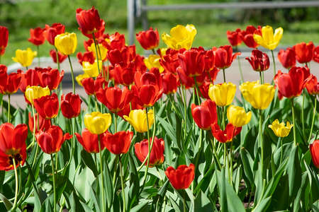 red and yellow tulips in the Park on a flower bed Stock Photo