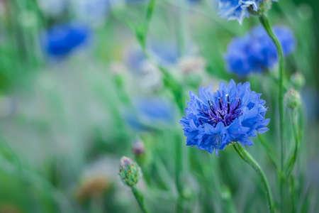 """Jubilee Gem, close-up, bluish flower """"cornflower"""" on a greenish background"""