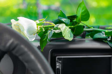 a rose flower with a white Bud lies on the car panel in front of the windshield in the sunbeams