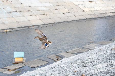 mallard, duck in flight on the city river