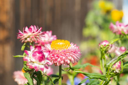 Xerochrysum bracteatum, Helichrysum, Astraceae, pink immortelle flowers on the background of a fence on a home, country flower bed