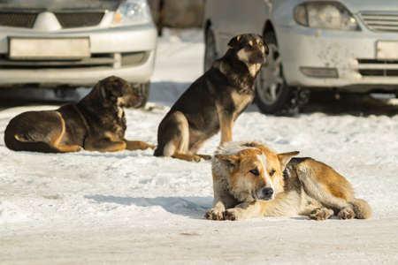a pack of dangerous adult yard dogs sit and lie on the cold snow in winter in the courtyard of a residential area near a parking lot