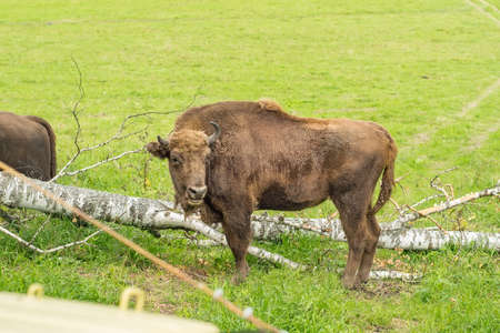 a buffalo, a bison with horns, stands on a green meadow near a felled tree, a birch trunk Standard-Bild