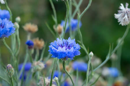 a bluish flower bud of a cornflower on a green background of flower stalks in a flower bed