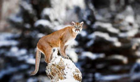Portrait of a cougar, mountain lion, panther, striking a pose on a fallen tree, Winter scene in the woods, wildlife America