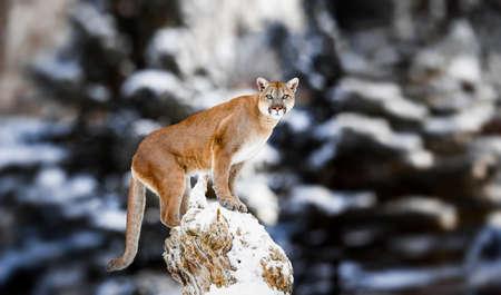 Retrato de un puma, león de montaña, pantera, adoptando una pose sobre un árbol caído, Escena de invierno en los bosques, la fauna Latina